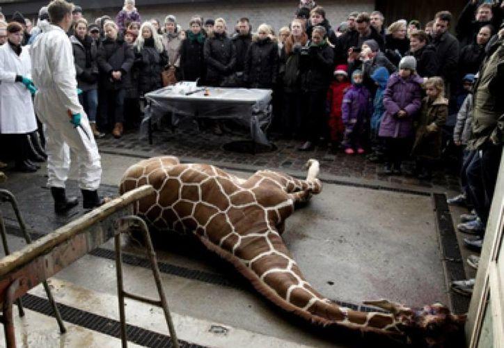 El animal recibió un disparo en vez de una inyección letal para poder utilizar su carne para alimentar a otras especies del parque. (Agencais)