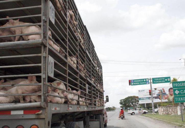 El año pasado la producción fue de un millón 200 mil nuevos vientres. Imagen de un vehículo que transporta cerdos. (Milenio Novedades)