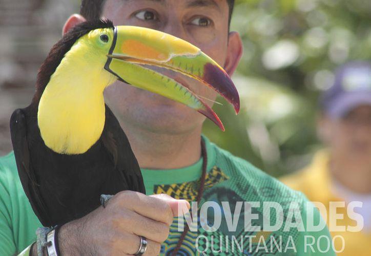 El parque Xcaret ha logrado en cuatro años, la formación de cinco parejas de tucaneta esmeralda. (Foto: Sergio Orozco)