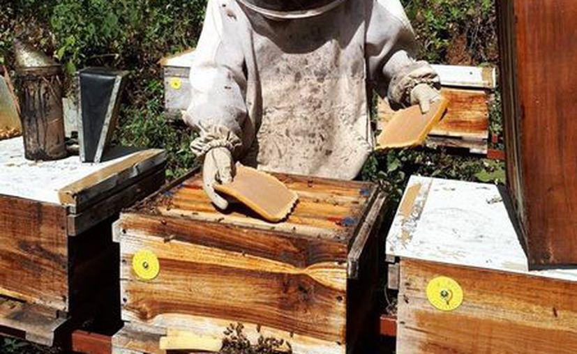 Demandan apoyo a la apicultura por parte de las autoridades. (Javier Oriz/SIPSE)