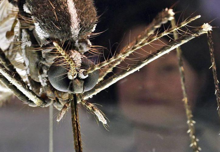 El contagio de este virus se produce a través de mosquitos de la especie Aedes albopictus y Aedes aegypti o zancudo patas blancas. (Archivo/EFE)