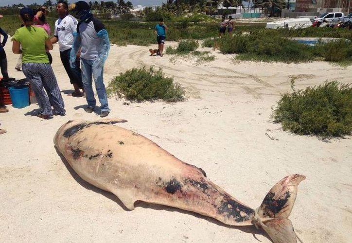 Un cachalote enano de la especie 'Kogia breviceps' recaló, ya muerto, en Telchac Yucatán. (Gerardo Keb/SIPSE)