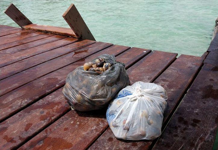 Un hombre fue sorprendido en Bacalar cuando pretendía llevarse ocho kilos de caracol chivita, especie en peligro de extinción. (Javier Ortiz/SIPSE)