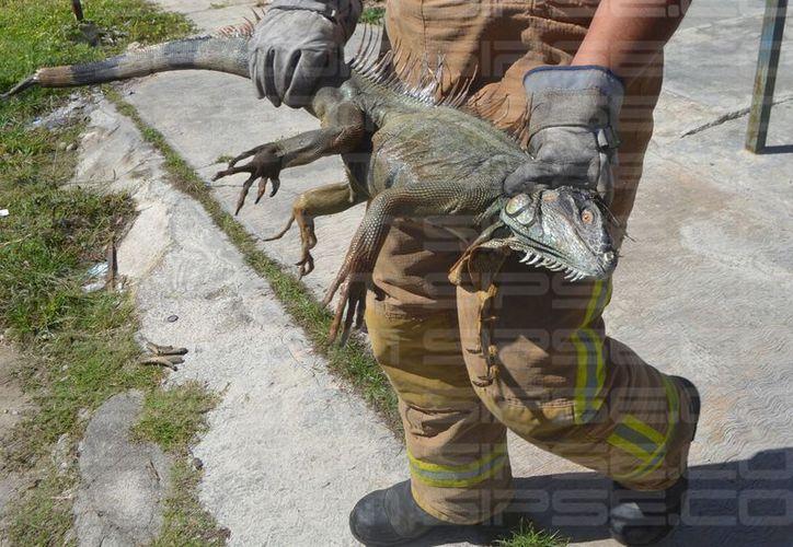 Bomberos atraparon a la iguana en una casa de la colonia Pacto Obrero Campesino. (Foto: Redacción)
