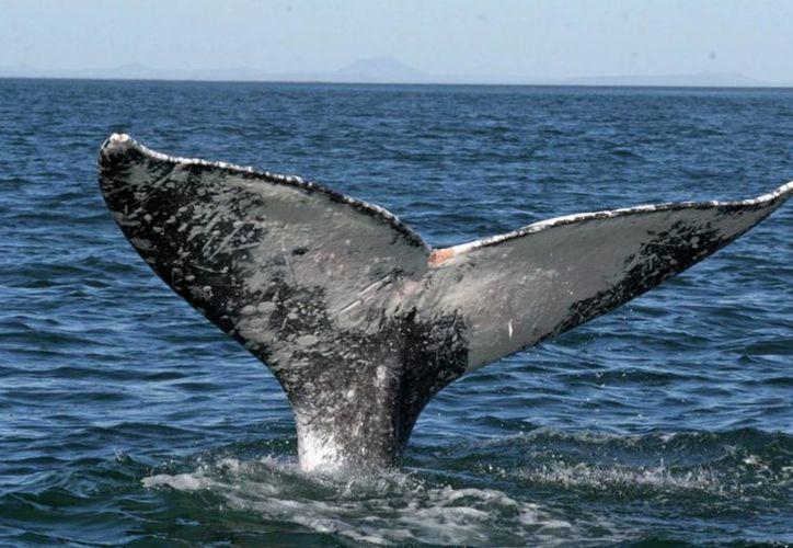 De diciembre a marzo, nueve especies de ballenas llegan a litorales mexicanos para reproducirse. (Archivo/Notimex)