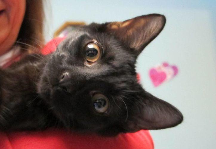 Los gatitos negros, por la superstición que pesa sobre ellos, son los más difíciles de entregar en adopción. (AP)