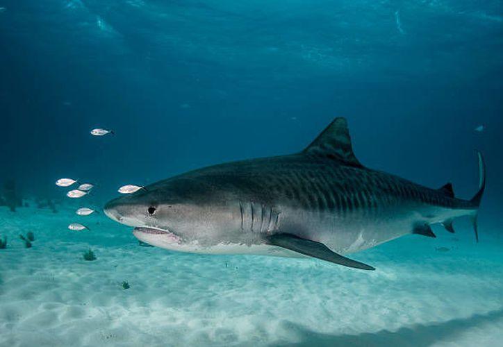 Un tiburón tigre lo atacó cuando se encontraba dentro el mar. (Contexto)