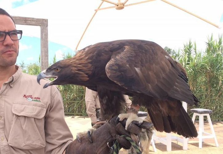 Africam Safari ha diseñado programas a favor de la conservación del Águila Real. (Notimex)