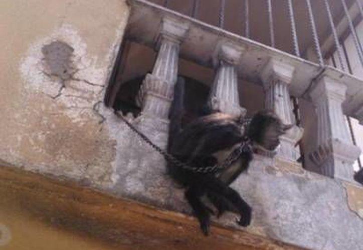 La mona fue hallada en mal estado físico en una casa de la delegación Iztapalapa. (info7.mx)