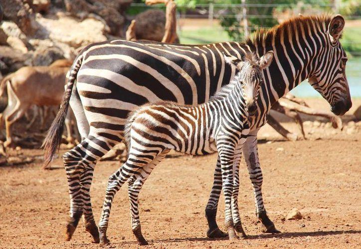 La cebra nació con un peso aproximado de 30 kilogramos. Es la primera cría de la especie que nace en Animaya. (Milenio Novedades)