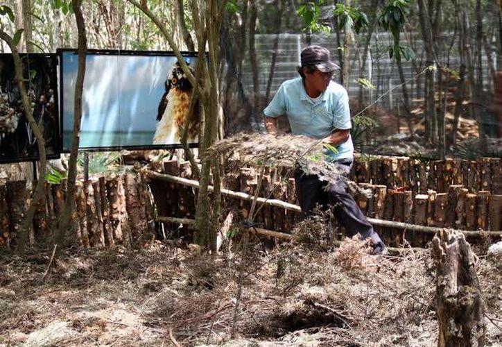 Los árboles se procesarán para obtener composta. (Cortesía/SIPSE)
