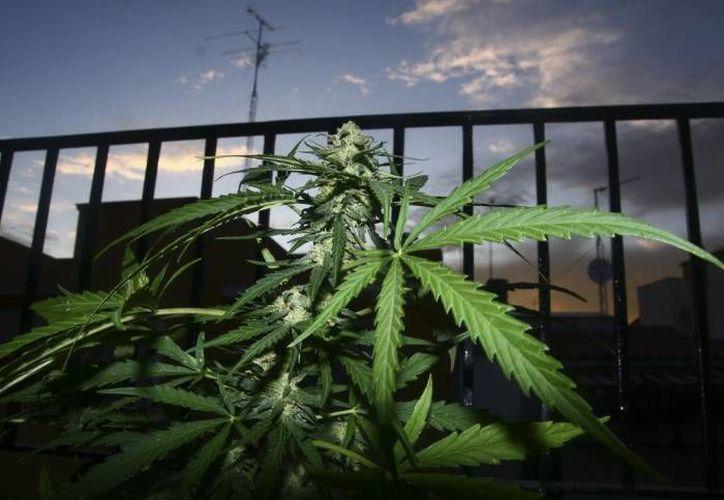 Elementos de la 11 Zona Militar hallaron 305 paquetes con marihuana en un vehículo tipo torton. (EFE/Foto de contexto)