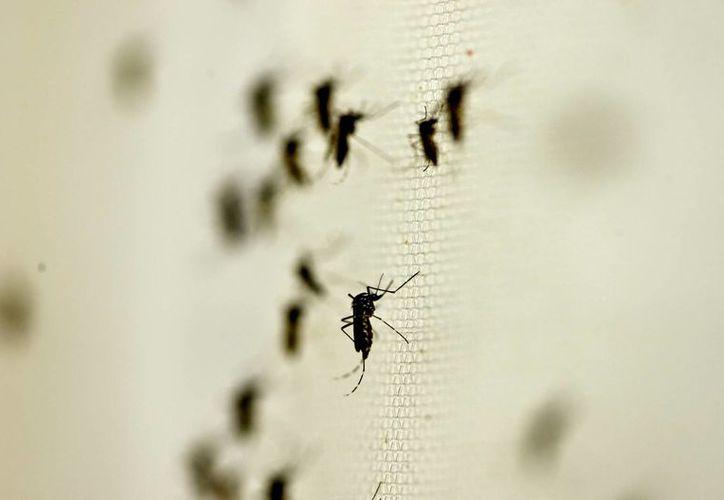 El virus es transmitido por el mosquito Aedes Aegypti, vector que también trasmite el dengue y el chikungunya. (Archivo/Notimex)