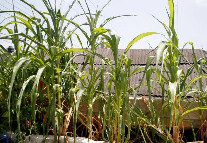 Los huertos en techos de viviendas ayudan a reducir el calor de las casas. (Octavio Martínez/SIPSE)