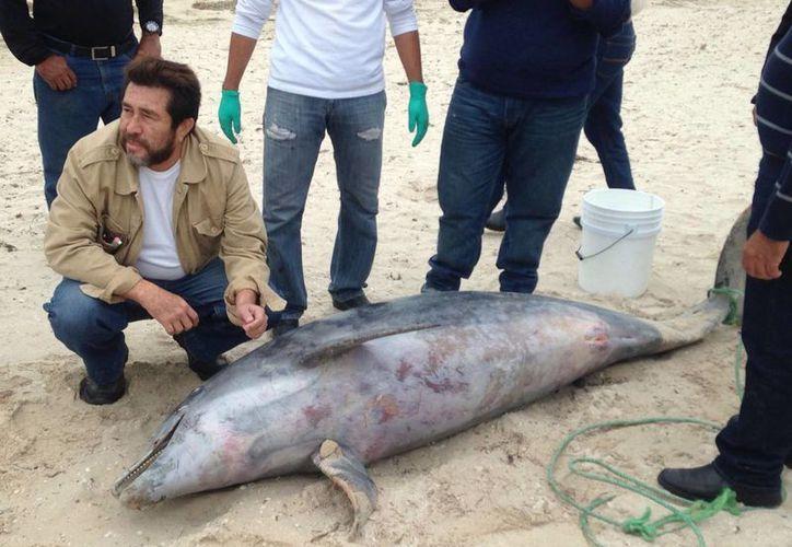 El cetáceo de 2.40 metros de largo recaló en una playa de Progreso, aún se ignora las causas de su muerte. (José Acosta/SIPSE)