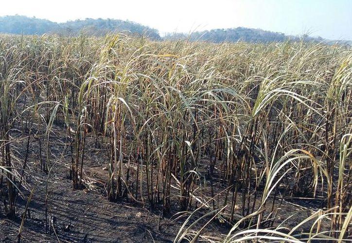 Hasta el momento, la mosca pinta ha afectado tres mil hectáreas, que representan el 10% de la superficie cultivada. (Javier Ortiz/SIPSE)