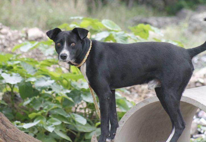 En algunos hogares es común dejar a los perros amarrados, sin agua o comida, y en un reducido espacio. (Jesús Tijerina/SIPSE)