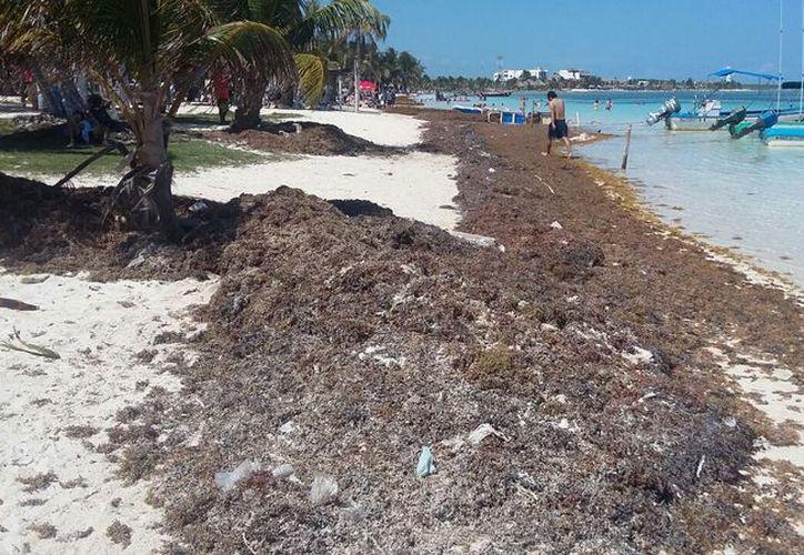 Los ciudadanos no pueden retirar el sargazo porque no cuentan con un dictamen de la Semarnat. (Foto: Juan Rodríguez)