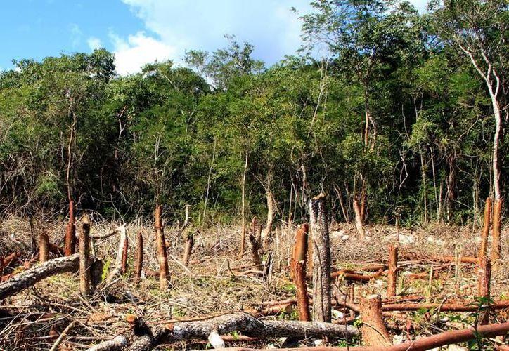 Buscan garantizar la expansión del arbolado en todo el territorio yucateco. (SIPSE)