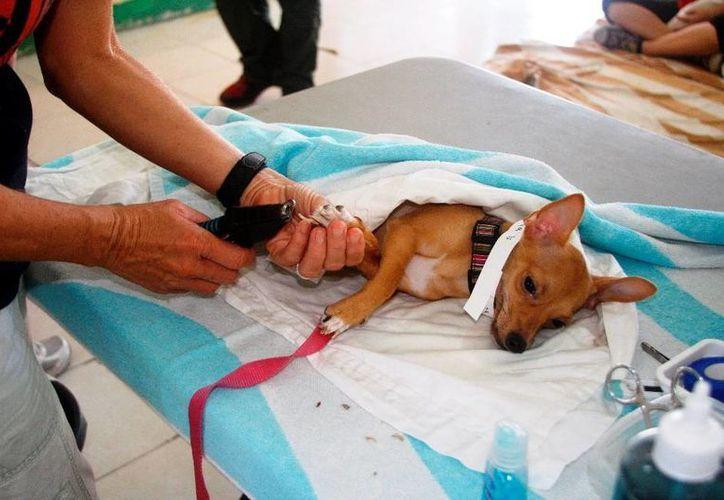 La meta de este año es esterilizar a más de mil 800 mascotas, entre perros y gatos, según los coordinadores de la campaña. (Octavio Martínez/SIPSE)