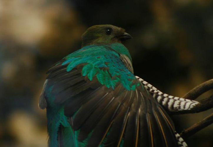 El quetzal es una especie en peligro de extinción.  (Octavio Martínez/SIPSE)