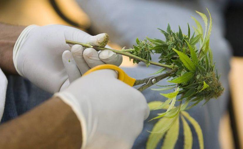 Un hombre corta hojas de una planta medicinal de marihuana. (EFE/Archivo)