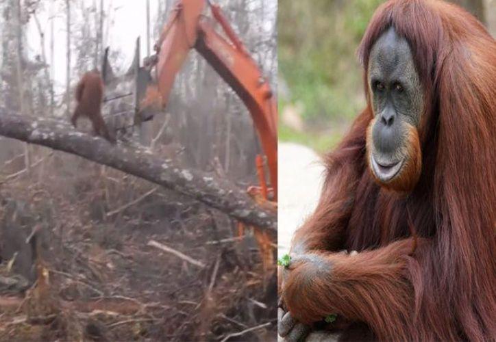 Las poblaciones de orangutanes en la isla de Borneo han disminuido más de un 50% en los últimos 60 años. (Pixabay)