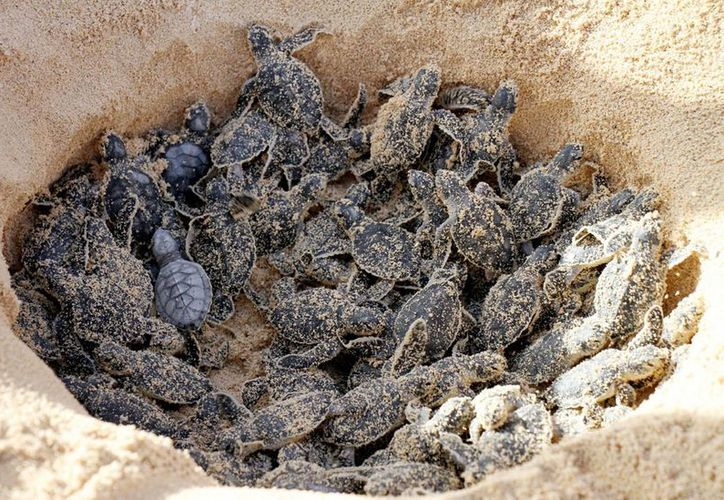 La Profepa informó que los huevos de las tortugas fueron depositados en playas protegidas naturales para su posible nacimiento. (Notimex/Archivo)