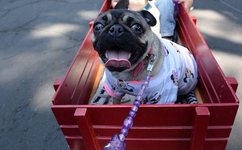 Poblanos recibirán multa por pasear perros sin bozal y correa