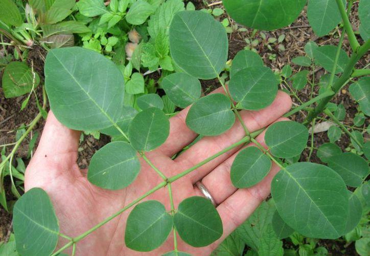 Las hojas de la moringa proporcionan vitaminas, minerales, ácidos grasos y proteínas; también son antibacteriales, antivirales y antinflamatorias. (wikipedia.org)