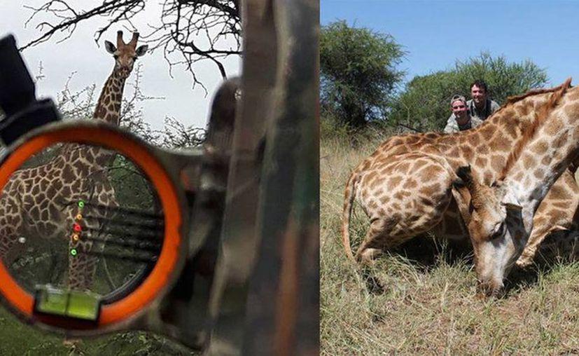 Imagen de una jirafa que el político sueco Angelo Vukasovic mató durante una cacería de animales salvajes en Sudáfrica. (RT)