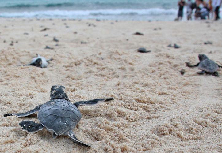 En las cosas arriban diferentes especies de tortuga marina. (Jesús Tijerina/SIPSE)