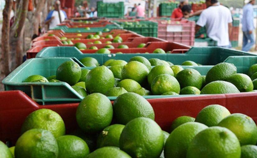 Los agricultores terminan por vender la caja de limón a sólo 30 pesos. (Carlos Castillo/SIPSE)