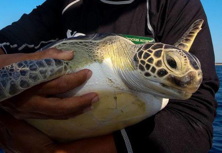 Las tortugas, que ya se encuentran completamente rehabilitadas, fueron liberadas al mar por personal de Xcaret. (Cortesía/HNotimex)