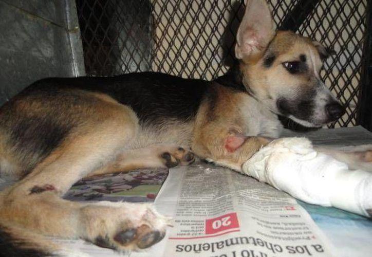 Las mascotas rescatadas, son perros y gatos que están heridos o son maltratados. (Redacción/SIPSE)