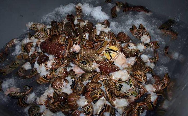La langosta en Yucatán se mantiene en 550 pesos el kilo. La mayoría del producto tiene un mercado cautivo en la Riviera Maya. (SIPSE)