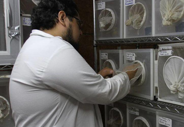 Los moscos son criados en la Unidad Colaborativa para Bioensayos Entomológicos del Campus de Ciencias Biológicas y Agropecuarias de la Uady. (Milenio Novedades)