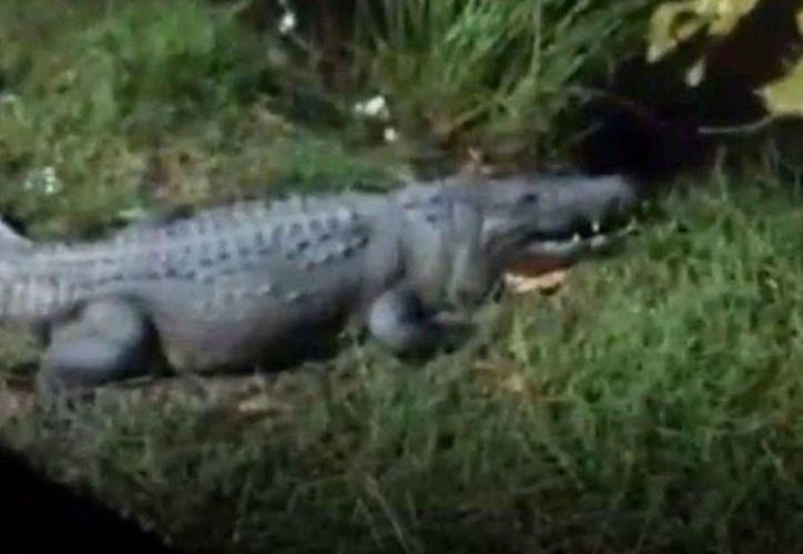 No es el primer cocodrilo que sale de su hábitat para andar entre la gente. (Foto: Redacción/SIPSE)