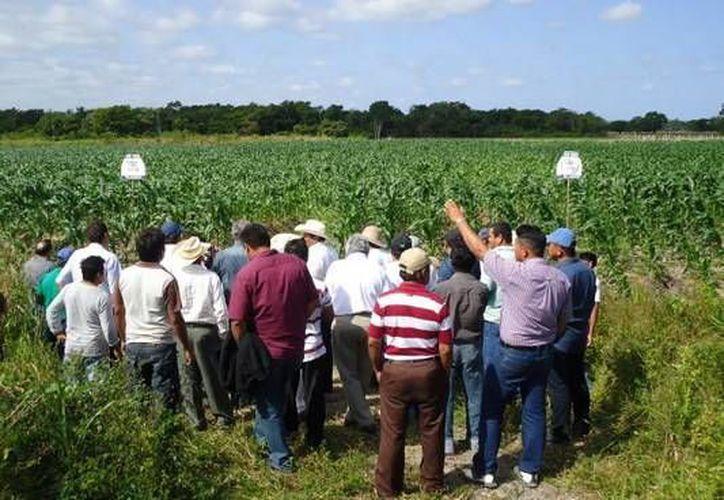 Los paquetes tecnológicos que se han aplicado  permiten producir cinco toneladas  de maíz por hectárea. (Redacción/SIPSE)