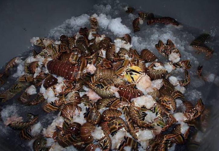 En 2015 se registró registró la captura de poco más de 585.5 toneladas de langosta con un valor de producción de 69.4 millones de pesos. (Archivo Milenio Novedades)