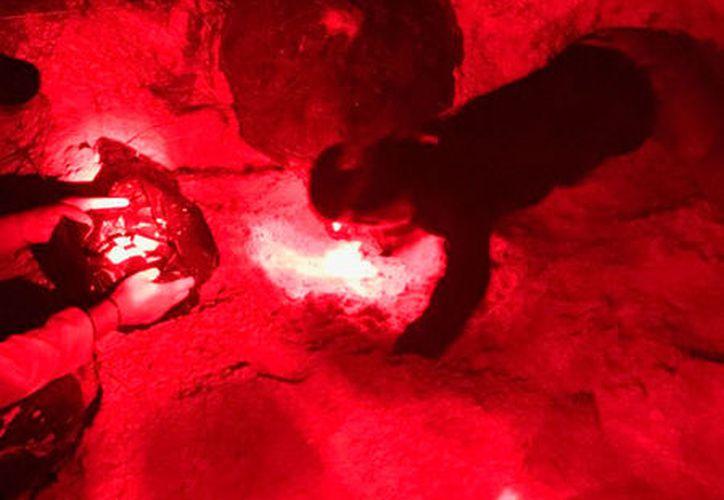 Cada tortuga puede poner en promedio 100 huevos. (Daniel Pacheco/SIPSE)