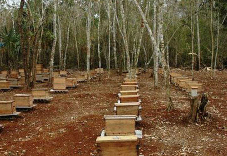 La producción de miel en el Estado dejará ganancia de millones de pesos de acuerdo con estimaciones de la Sagarpa. (Edgardo Rodríguez/SIPSE)