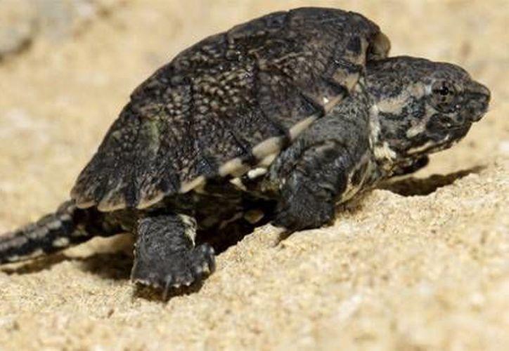 Entre las especies aseguradas se encontraban dos tortugas lagarto. (Foto de contexto/Internet)