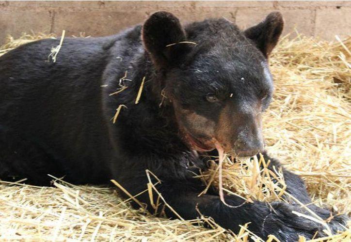 Profepa reportó que el oso Invictus empezó a reconocer el implante de titanio que se le colocó en la mandíbula destrozada. (profepa.gob.mx)