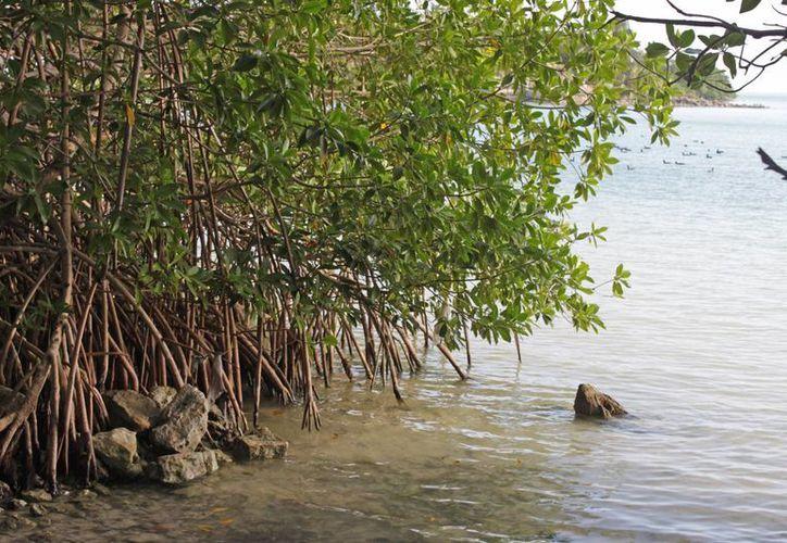 La destrucción del mangle es notoria en algunos puntos de los 67 kilómetros que abarca en la bahía. (Harold Alcocer/SIPSE)