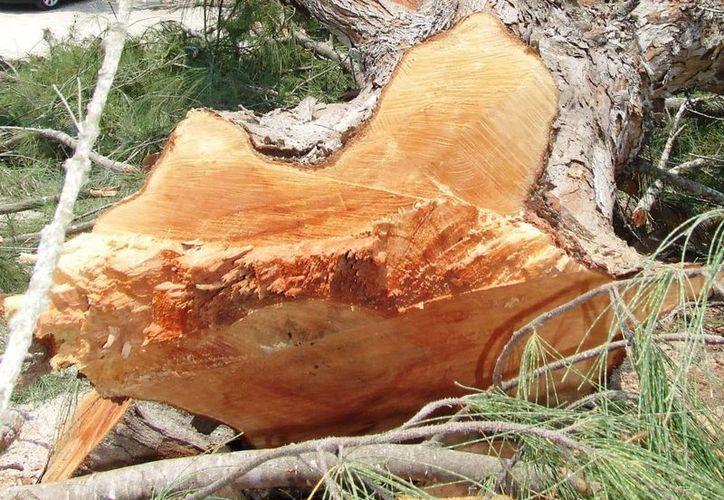 Los taladores están cortando árboles de 10 centímetros de diámetro. (Rossy López/SIPSE)