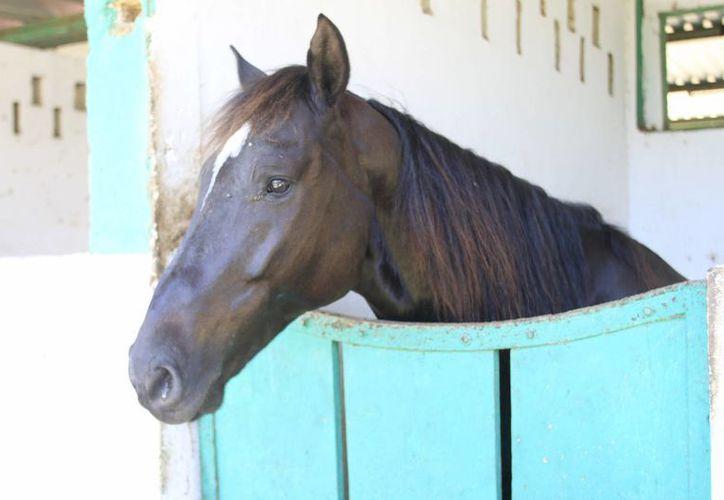 Actualmente son 16 caballos con los que se cuentan para los recorridos.  (Archivo/SIPSE)