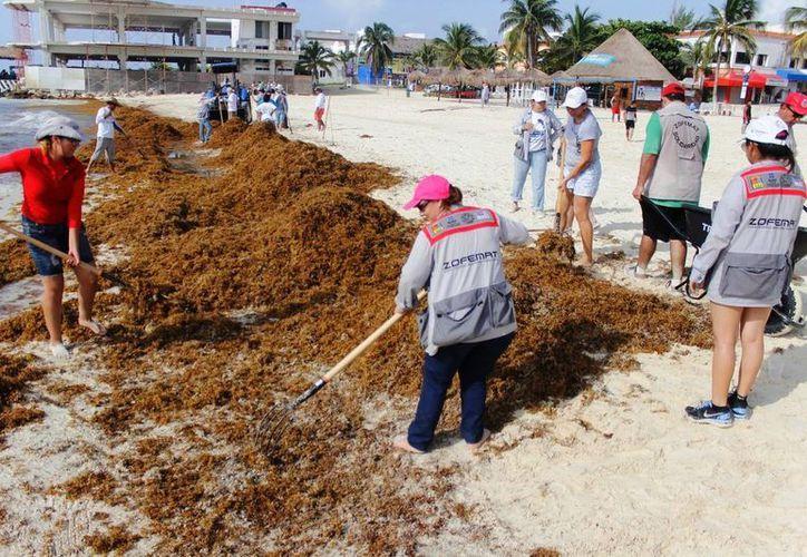 Personal de Zofemat retira diariamente cerca de 300 toneladas de sargazo de los arenales playenses.  (Redacción/SIPSE)