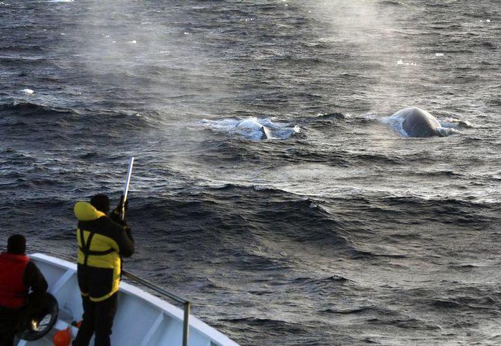 Fotografía facilitada por Australian Antartic Divison de un científico tomando muestras para biopsias de ballena azul. (EFE)