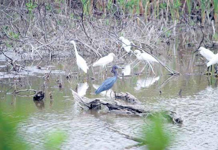 Del 7 al 9 de noviembre Cozumel será sede del Sexto Festival de las Aves. (Gustavo Villegas/SIPSE)